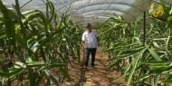 """خاص بالصور والفيديو   مزارع غزي ينجح في إنتاج """"التنين"""" بمزرعته الخاصة"""